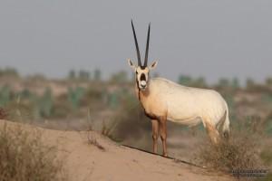 oryx1large