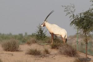 oryxlarge